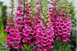 Fingerbøl Red Foxglove (Digitalis mertonensis)
