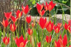 Tulipan sprengeri Skarlagen rød  (Leucojum vernum)
