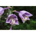 Hosta Plantain Lily  (Hosta ventricosa)