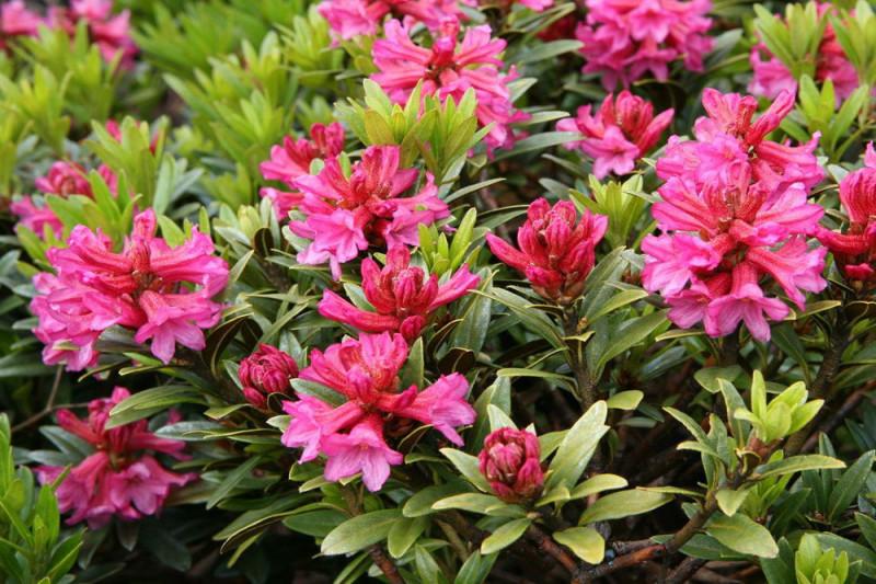 Rustbladet Alperose (Rhododendron ferrugineum)