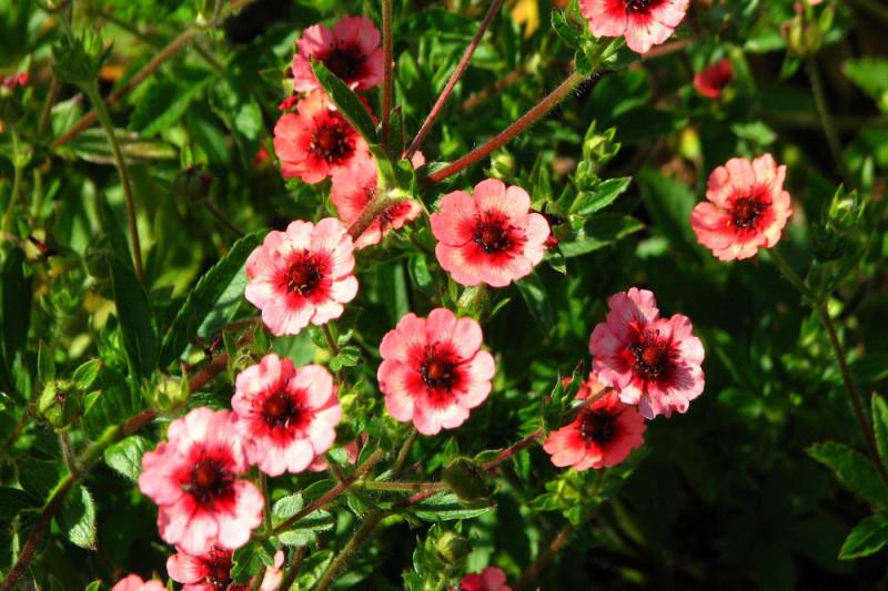 Potentilla 'Miss Willmott' (Potentilla nepalensis)