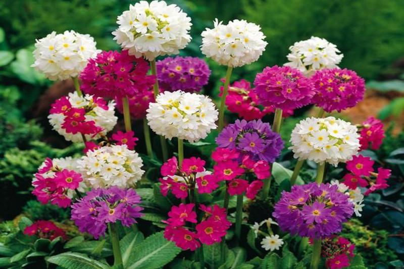 Primula Nepal bl. farver (Primula denticulata)