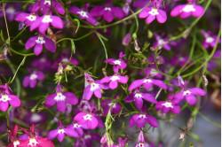 Lobelia Cascade Red (Lobelia erinus pendula)