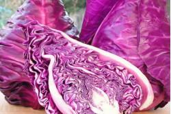 Spids Kalibos Red (Brassica oleracea var. capitata)