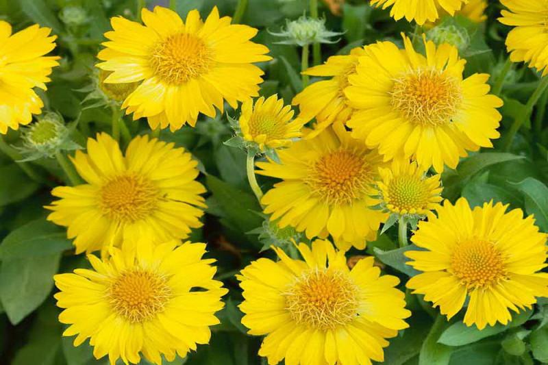 Kokardeblomst Maxima Aurea (Gaillardia aristata)