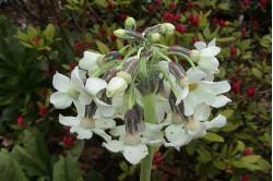 Primula Chionantha (Primula denticulata)