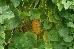 Kiwano, Horned Melon...