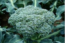 Broccoli Rasmus (Broccoli...