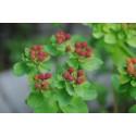 Forårs-vortemælk (Euphorbia polychroma)