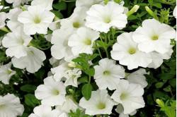 Petunia Cascada hvid...