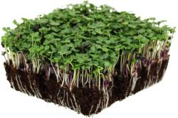 Broccoli - mikrogrønt...