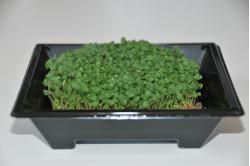 Chia - mikrogrønt (Salvia...