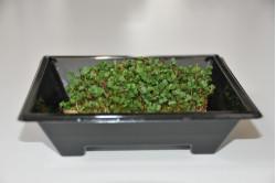 Rucola - mikrogrønt (Eruca...