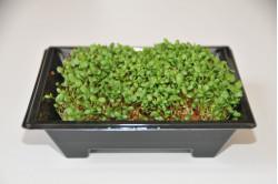 Rødkløver - mikrogrønt...