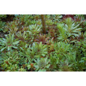 Husløg (Sempervivum hybridum)