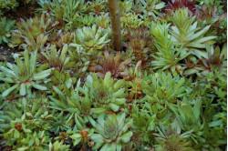 Husløg (Sempervivum)