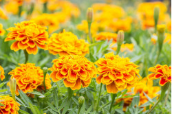 Tagetes French Marigold bl....