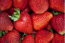 Jordbær Apricia (Fragaria x...