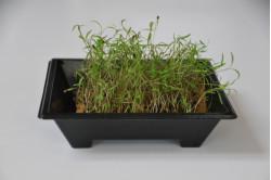 Dild - mikrogrønt (Anetum...