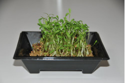 Koriander - mikrogrønt...