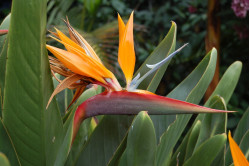 Papegøjeblomst (Strelitzia...