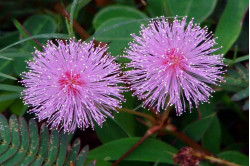 Ægte Mimosa (Mimosa pudica)