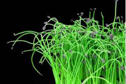 Kina purløg (Allium tuberosum)