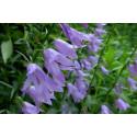 Klokkeblomst – blå - høj (Campanula persicifolia)