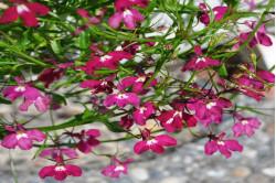 Lobelia Fountains Formula bl. farver (Lobelia erinus pendula)