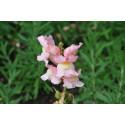 Løvemund - bl. farver (antirrhinum majus)