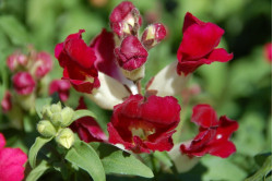 Løvemund - lav - bl. farver (antirrhinum majus)