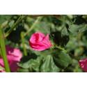 Mamelukærme - rosa (Lavatera trimestris)