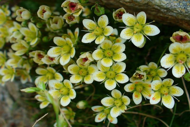 Mos-stenbræk - bl. farver (Saxifraga Mossy Varieties)