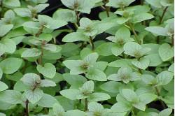 Pebermynte (Mentha viridis)
