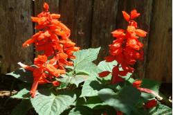 Pragtsalvia Blaze of Fire (Salvia splendens)