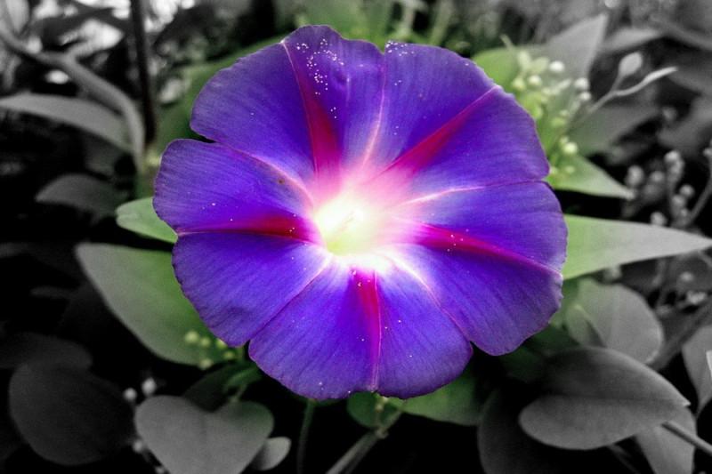Pragtsnerle Purple Haze (Ipomoea nil)