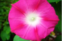Pragtsnerle Scarlet O'hara (Ipomoea tricolor)