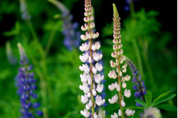 Regnbuelupin Russels (Lupinus polyphyllus)