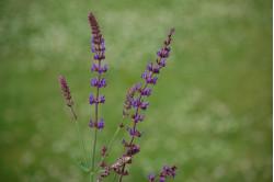 Salvie - violet (Salvia transylvanica)