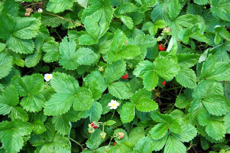 Skovjordbær vild (Fragaria vesca)