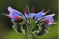 Slangehovedet (Echium vulgare)