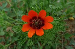 Sommeradonis (Adonis aestivalis)