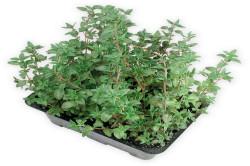 Timian (Thymus Serpyllum)