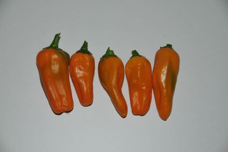 Chili Cheyenne (Capsicum annuum)