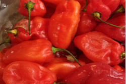 Chili Scotch Bonnet Red (Capsicum chinense)