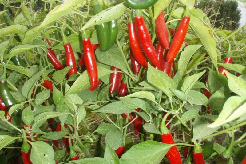 Chili Serrano (Capsicum Anuum)