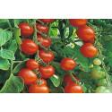 Cherrytomat Gardener's Delight (Lycopersicon lycopersicum)