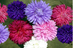 Asters Ostrich Plume bl....