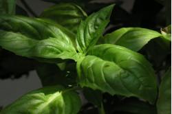 Basilikum Citron (Ocimum basilicum)