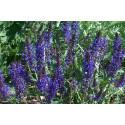 Texassalvie (Salvia farinecea)